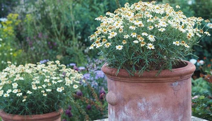 Daisy pots